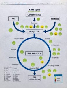 How micronutrients travel through the Krebs cycle